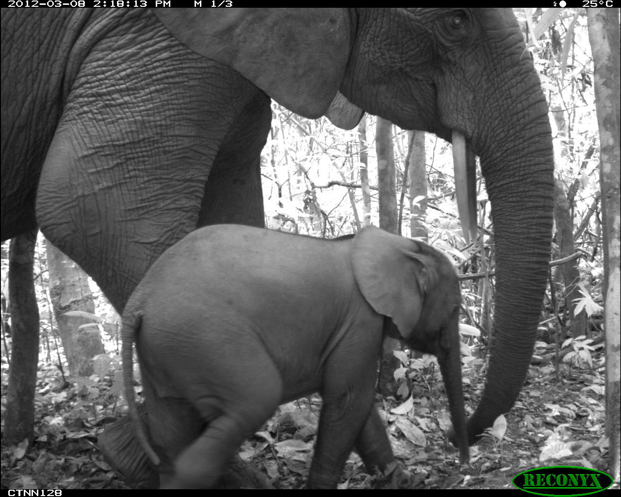 African bush elephants (Loxodonta africana) in Nouabale Ndoki National Park, Republic of Congo. This species is listed as vulnerable by the IUCN.