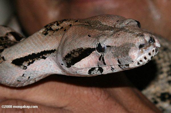 A boa constrictor in Belize, commonly known as a wowla by locals. Photo by Rhett Butler.