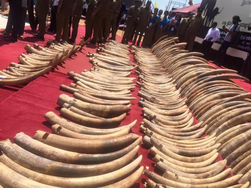Ivory stockpile at Galle Face Green. Photo by Thyagi Ruwanpathirana.