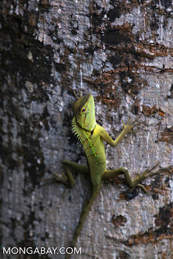 A lizard known as a Chinese forest dragon photographed in China. Photo by Rhett A. Butler.