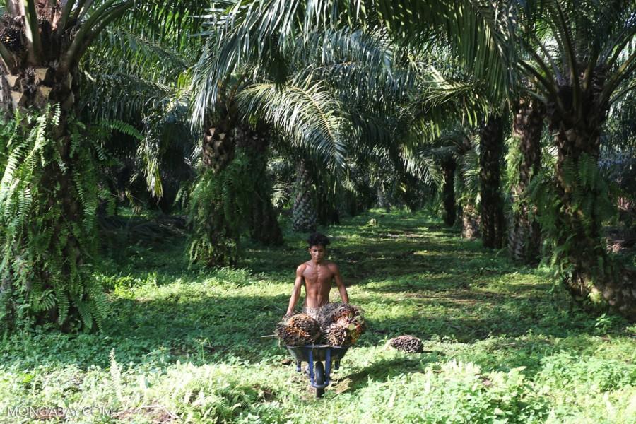 Seorang pekerja di perkebunan tampak sedang mengumpulkan tandan buah sawit segar. Foto: Rhett Butler