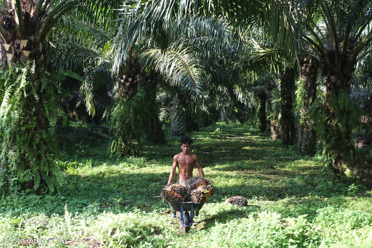 A worker on a palm oil plantation in Indonesia's Sumatra. Photo by Rhett A. Butler