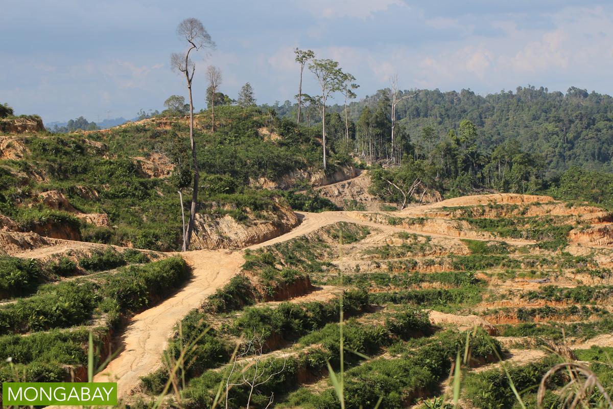 An oil palm plantation in Sarawak, Malaysia. Photo by Rhett A. Butler