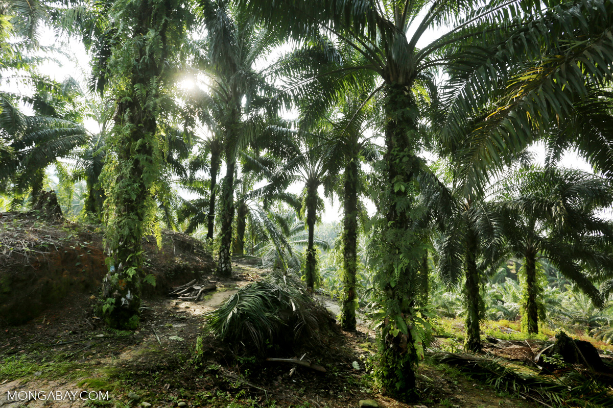 An oil palm plantation in Indonesia's Aceh province. Photo by Rhett A. Butler