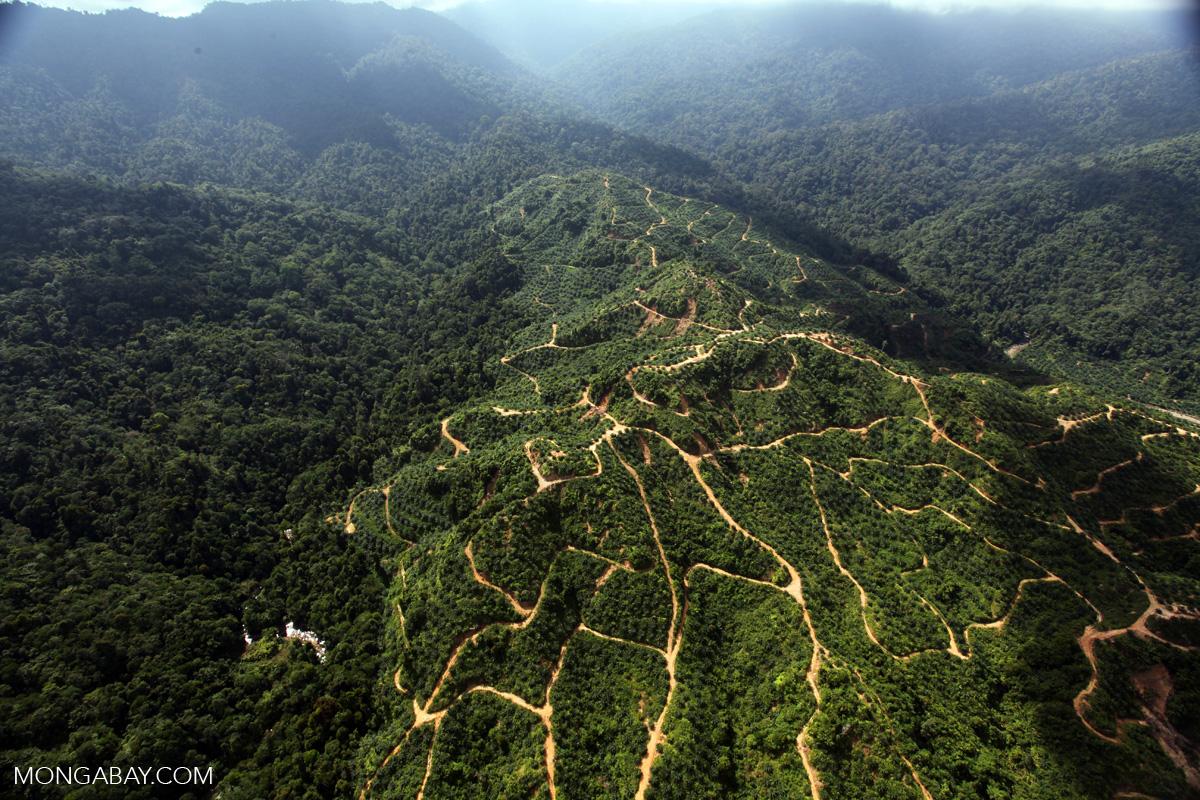 An oil palm plantation in Sabah. Photo by Rhett A. Butler