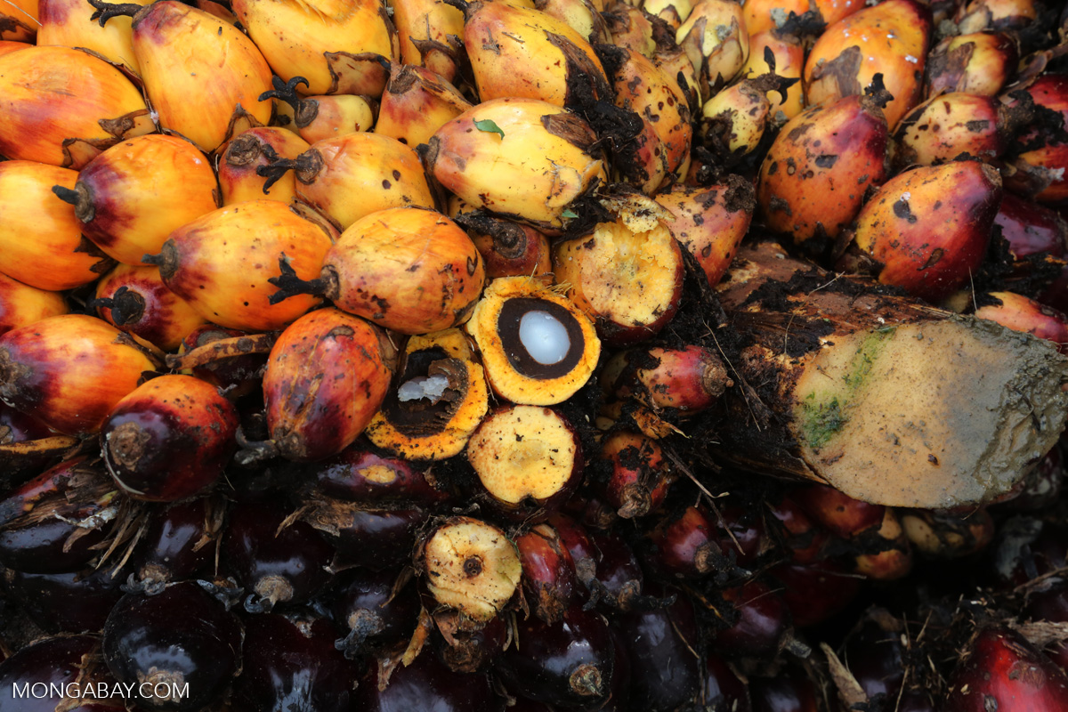 Oil palm fruit in Indonesia. Palm oil is used in everything from detergents and cosmetics to breakfast cereals and ice cream. Photo by Rhett A. Butler/Mongabay