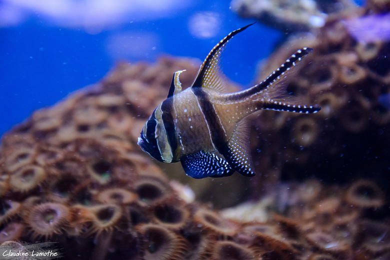 A Banggai cardinalfish in the Quebec aquarium. Photo by Claudine Lamothe via Flickr.