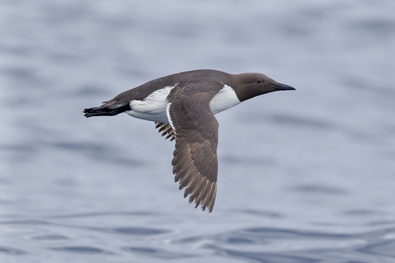 A flying common murre. Photo by Paul Jones via Flickr.