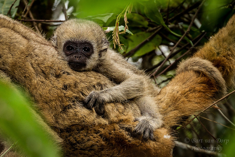 The northern muriqui, one of the world's most critically endangered primates. Photo by Bart van Dorp via Flickr.