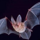 Big-eared Townsend's bat