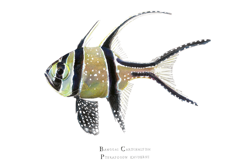 A Banggai cardinalfish. Illustration by Karen Talbot.