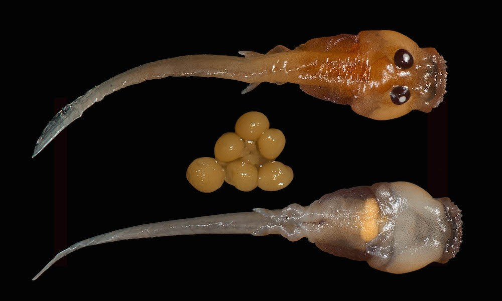 "Dorsal and ventral views of an egg-eating Frankixalus jerdonii tadpole. Eyes are large and placed on the top of the head, unlike most other tadpoles with eyes more towards the sides of their heads. Unfertilized ""nutritive"" eggs found inside the dissected larval gut are also visible in the ventral view. Photo by SD Biju."
