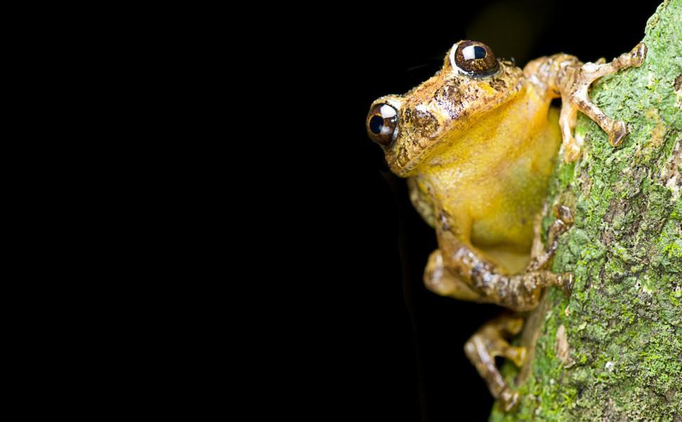 Frankixalus jerdonii: a new species, a new genus. Photo by SD Biju.