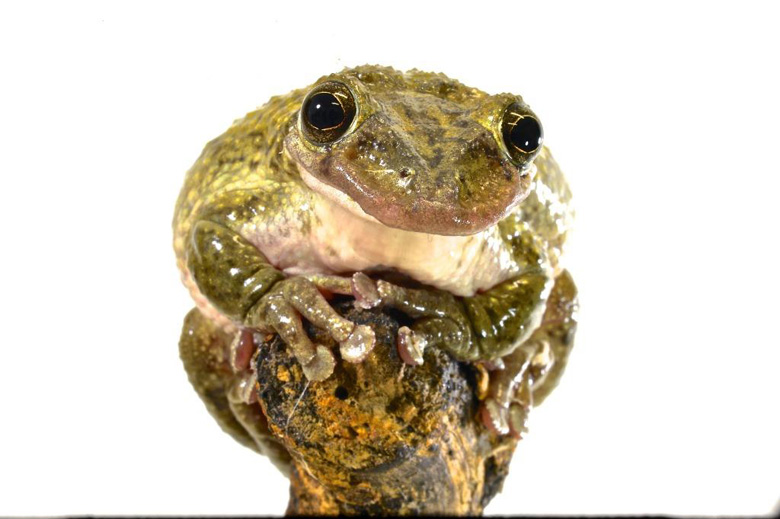 Corythomantis greeningi, one of first species of venomous frogs known to science. Photo by Carlos Jared.