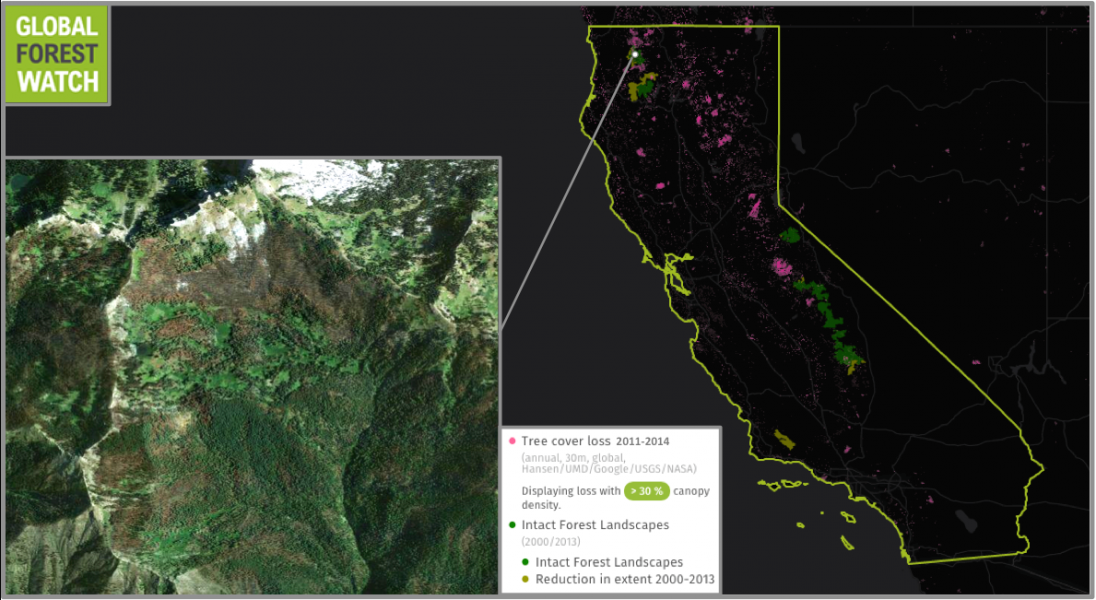 Research shows many areas of California forest are losing the water contained in their canopies – essentially, they're drying up. Northern California has been particularly affected in the past few years, with even large tracts of primary forest called Intact Forest Landscapes (IFLs) browning and burning. The forest monitoring platform Global Forest Watch shows northern California's IFLs lost around 4,200 hectares of their tree cover from 2011 through 2014, with 70 percent of that loss occurring in just 2014.