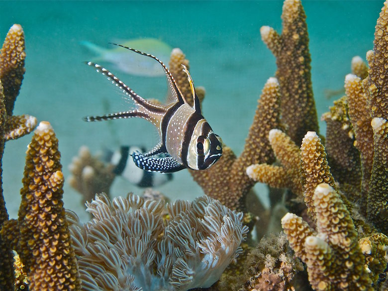 A Banggai cardinalfish, recently listed as threatened under the Endangered Species Act, swims in its native range in the Banggai Islands of Sulawesi, Indonesia. Photo by Ret Talbot.
