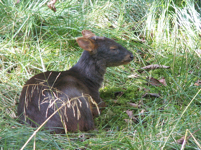 The Pudu is the world's smallest deer. Two species exist, both endangered: the southern Pudu (Pudu puda, pictured) and the northern Pudu (Pudu mephistophiles), which the new reserve aims to help protect.