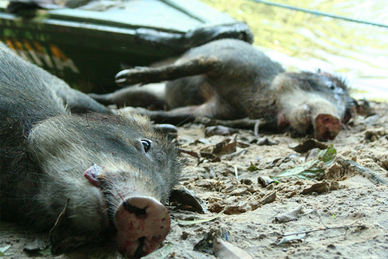 White-lipped peccary carcasses on the Tefe River, Amazonas State. Photo by Luke Parry