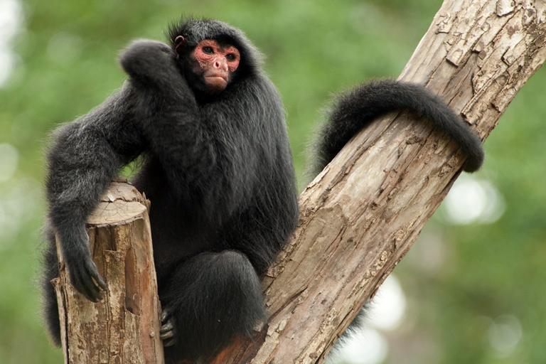 Black spider monkey (Ateles paniscus), Paramaribo Zoo, Suriname, March 2010