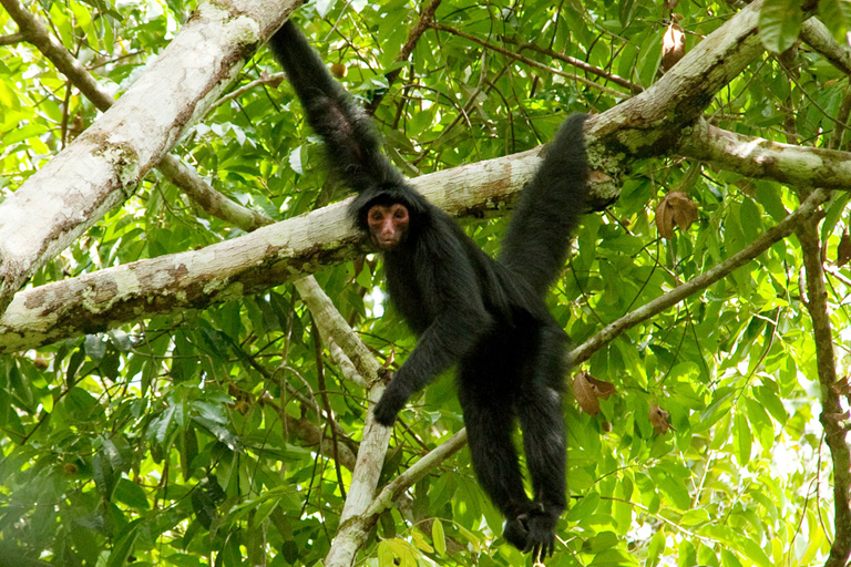 Guianan black spider monkey (Ateles paniscus) near the Voltzberg Camp, Suriname.  Photo by Russell A. Mittermeier .
