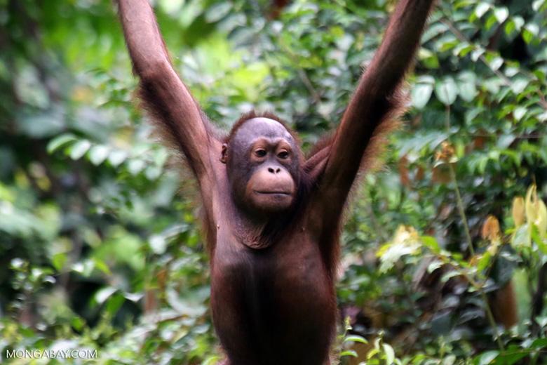 Borneo orangutan in Sabah, photo by Rhett Butler.