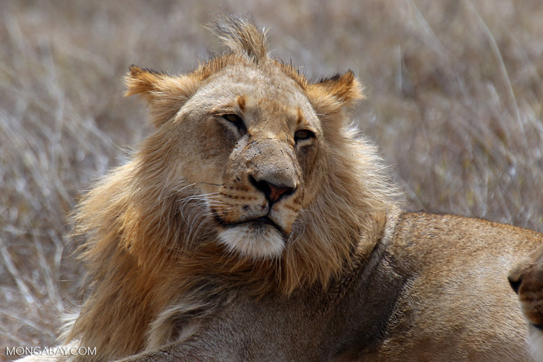 African lion in Kruger South Africa. Photo by Rhett Butler.
