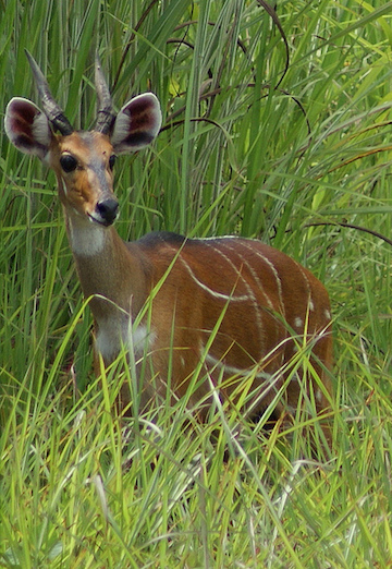 A male bushbuck in Gashaka-Gumti National Park. Photo by Rosemary Lodge/Flickr.