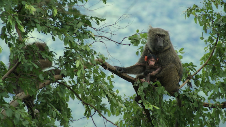 A mother and baby olive baboon in Gashaka-Gumti National park. Photo by Rosemary Lodge/Flickr.