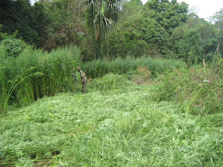 Rangers destroy an illegal marijuana farm near a village inside the park. Poverty is rampant, and locals often turn to illegal activities to make a living, putting a strain on the park's natural resources. Photo by Lawal Sani Kona.