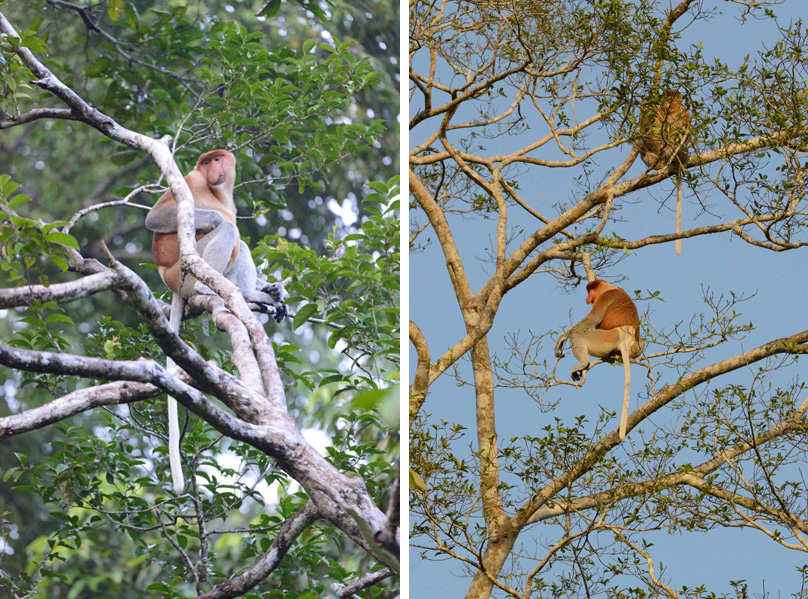 (left) Adult male proboscis monkey along the Manangul River, a tributary of the Kinabatangan. (right) Proboscis monkeys in the late afternoon. Photos by Russell A. Mittermeier.