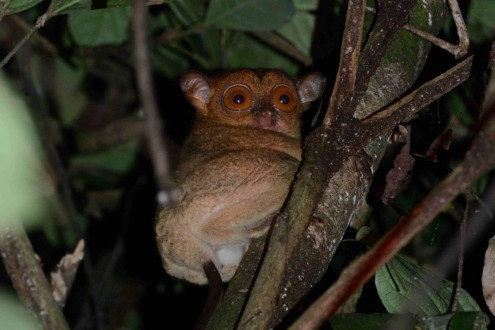 A Bornean tarsier. Photo by Russ Mittermeier.