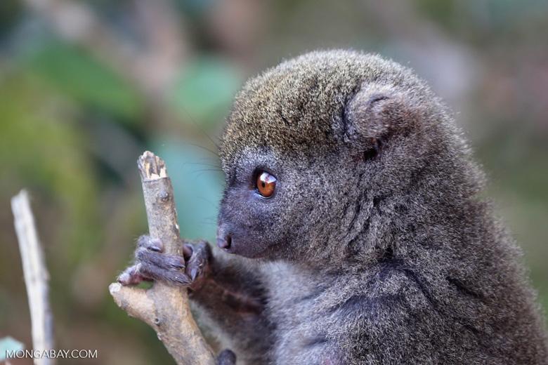 Eastern lesser bamboo lemur (Hapalemur griseus). Photo by Rhett Butler.