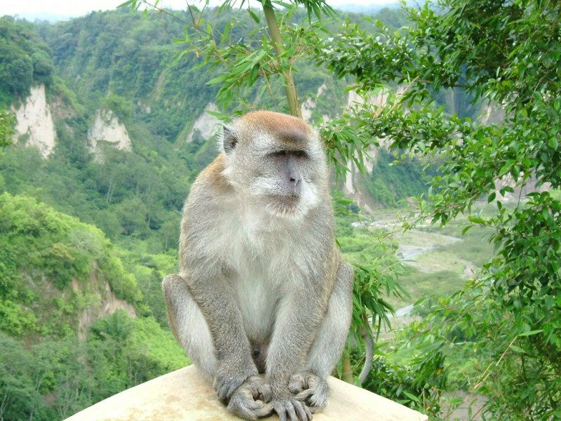 The Plasmodium knowlesi pathogen normally infects macaques like long-tailed macaques (Macaca fascicularis). However, in recent years, the number of human cases is dramatically rising. Photo by Sakurai Midori , Wikimedia Commons. CC by SA 3.0.
