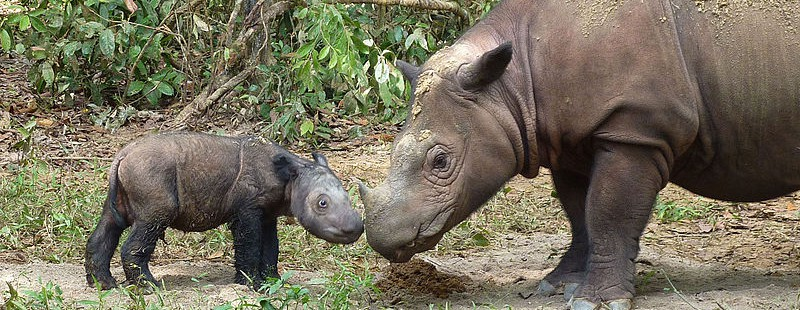 Sumatran rhinos at a sanctuary in Lampung, Sumatra. Photo courtesy of the International Rhino Foundation