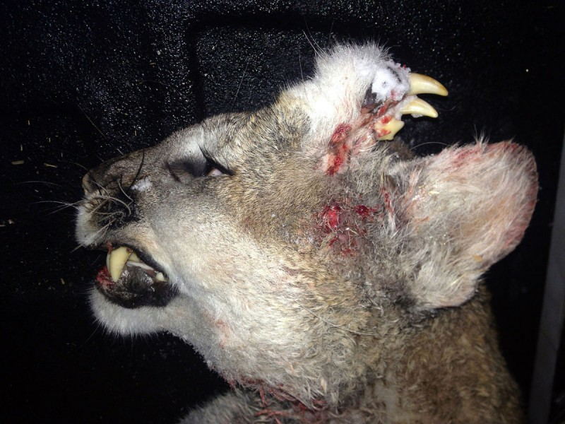 Photo released by the Idaho Department of Fish and Game showing a mountain lion with an unusual deformity-fully-formed teeth and what appears to be small whiskers were growing out of hard fur-covered tissue on the left side of the animal's forehead