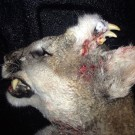 Photo released by the Idaho Department of Fish and Game showing a mountain lion with an unusual deformity-fully-formed teeth and what appears to be small whiskers were growing out of hard fur-covered tissue on the left side of the animal's forehead.