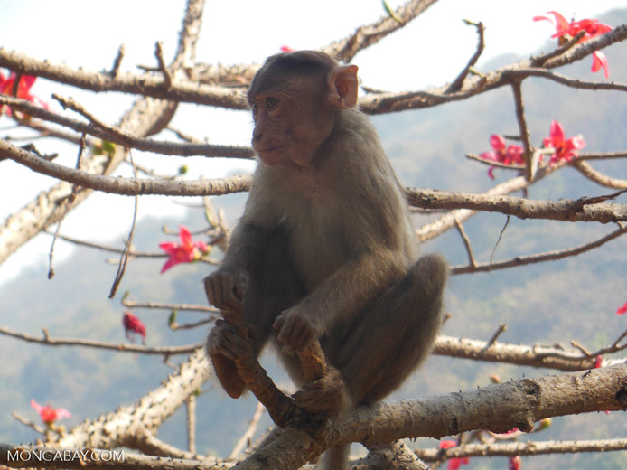 Rhesus monkey in India. Photo by Nancy Butler.