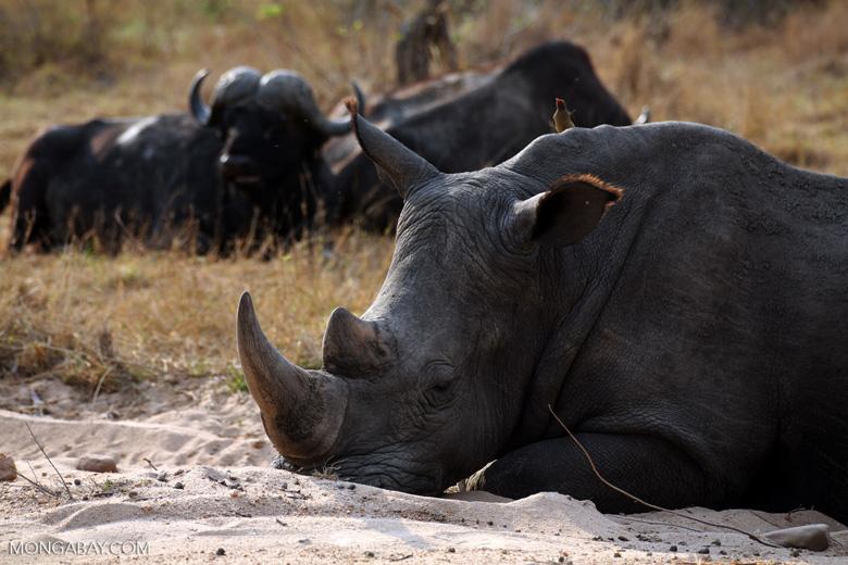 White rhino in Kruger South Africa. Photo by Rhett Butler.