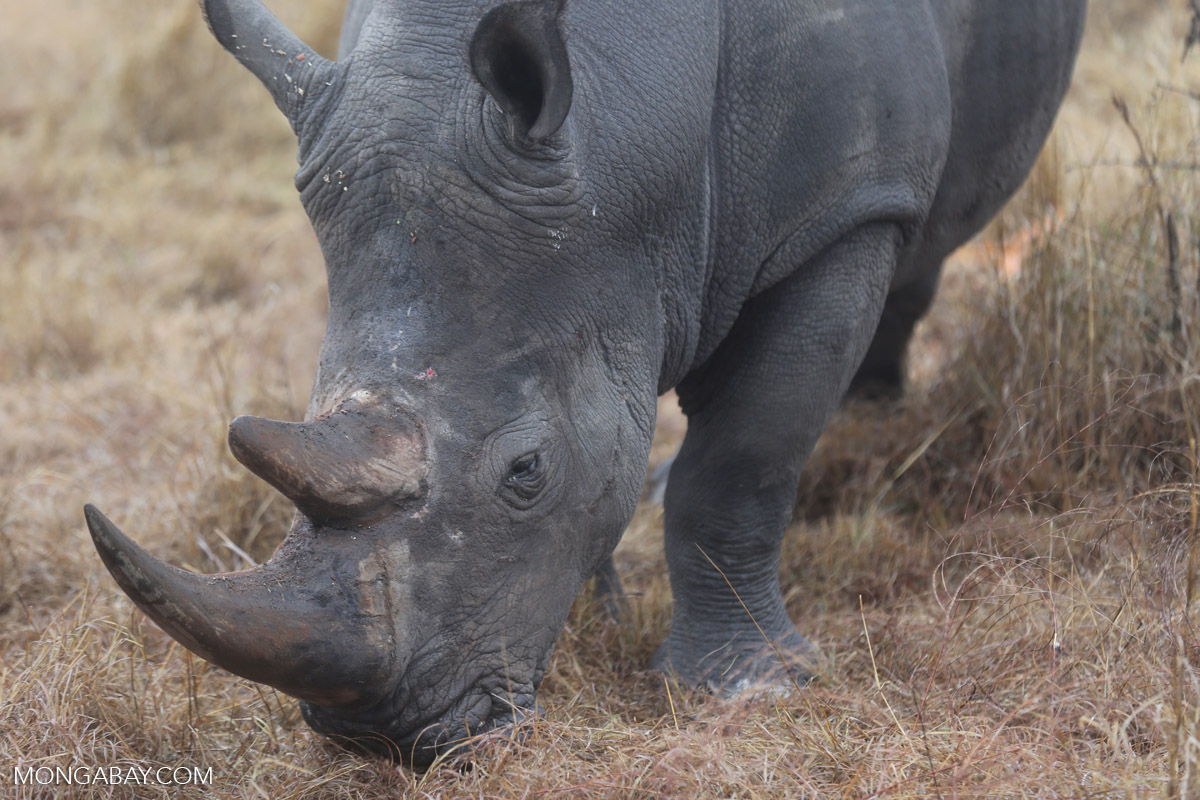 A white rhinoceros grazes in South Africa's Kruger National Park. Photo by Rhett A. Butler.