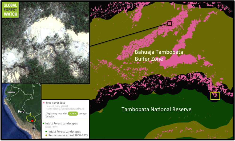 So far, Tambopata has escaped much of the region's gold rush - unlike the buffer zone above it, which Global Forest Watch (GFW) shows lost more than 24,000 -- 5.5 percent -- of its tree cover between 2001 and 2014. This is primarily due to gold mining, which has been ramping up in recent years; the average annual deforestation rate in the buffer zone has more than doubled since 2011. The yellow box indicates where the MAAP team discovered recent mining activity across the border into Tambopata National Reserve.