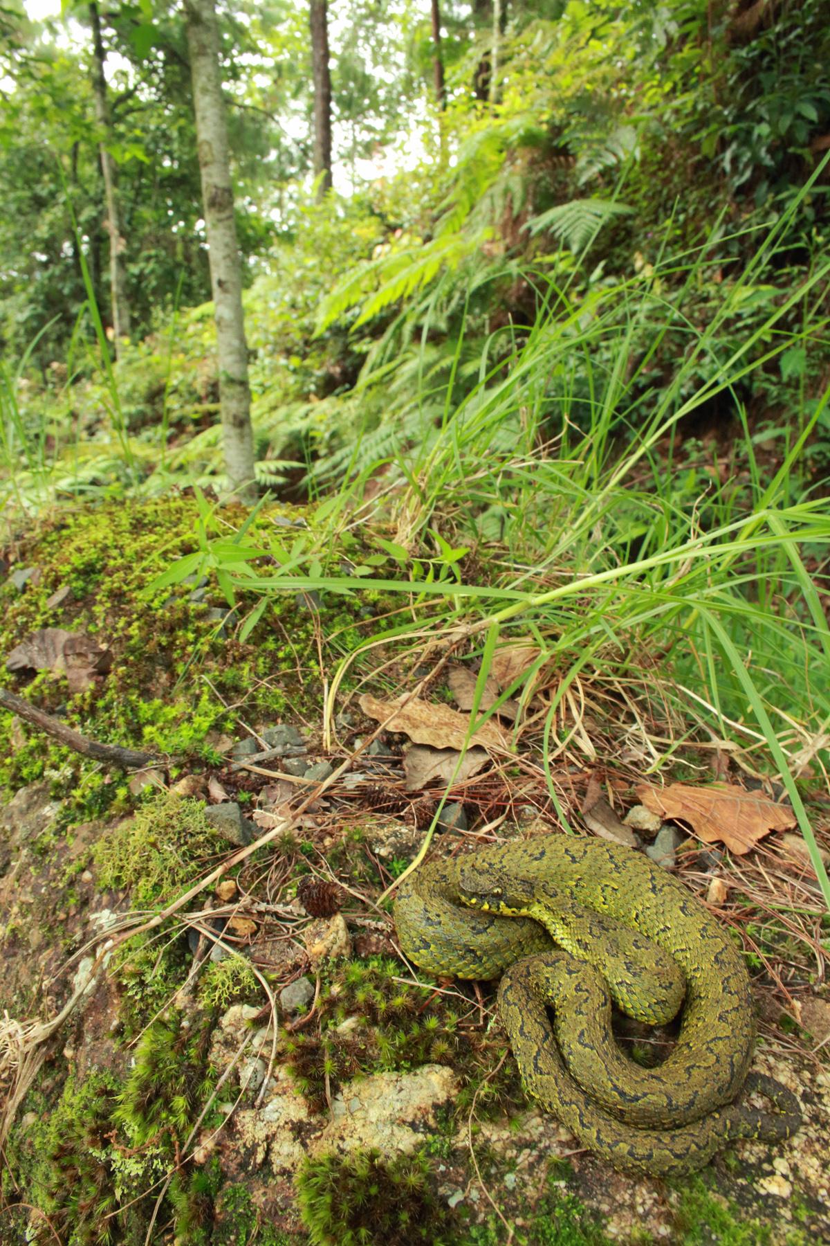 Ophryacus-smaragdinus-in-habitat-02