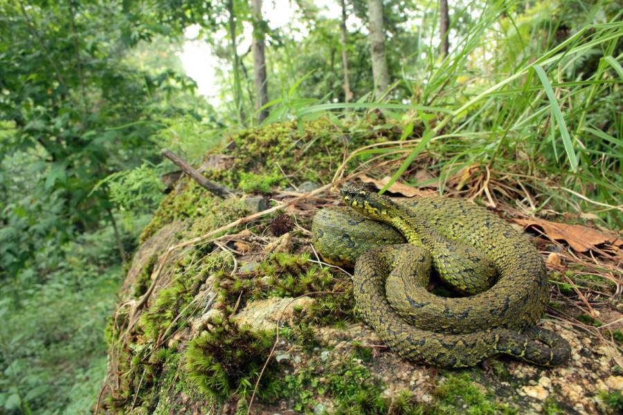 Ophryacus-smaragdinus-in-habitat-01