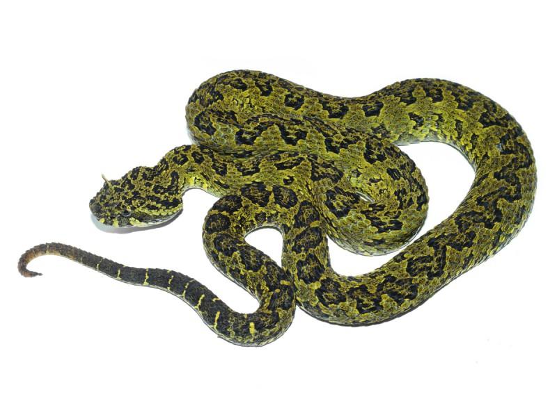 Ophryacus-smaragdinus
