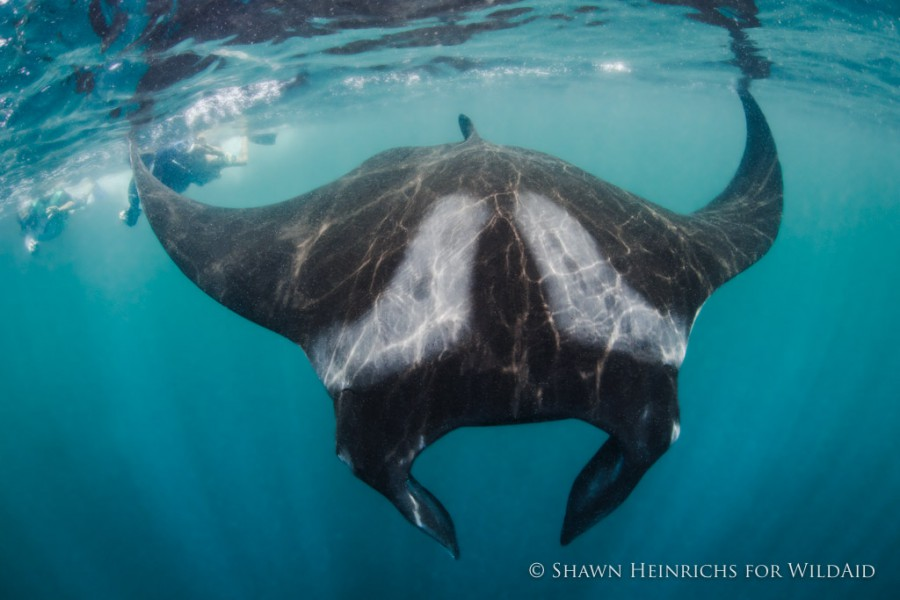 Peru has joined countries like Ecuador, and Maldives in banning the fishing of manta rays. Photo by Shawn Heinrichs.