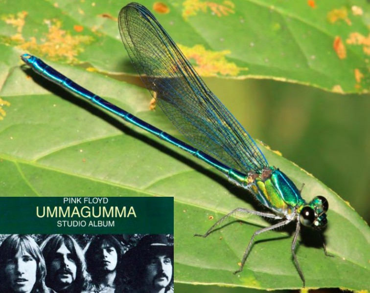 The Robust Sparklewing Umma gumma from central Africa was named after the classic 1969 album by Pink Floyd. Photo from Dijkstra et al, 2015.