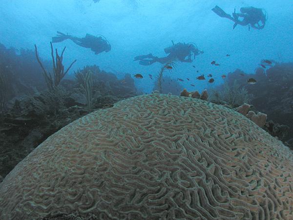 Divers_and_a_large_Brain_Coral,_Roatan,_Honduras