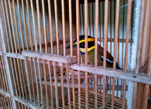 A Javan banded pitta (Hydrornis guajana) on sale in a cage outside Pramuka. Photo courtesy of TRAFFIC