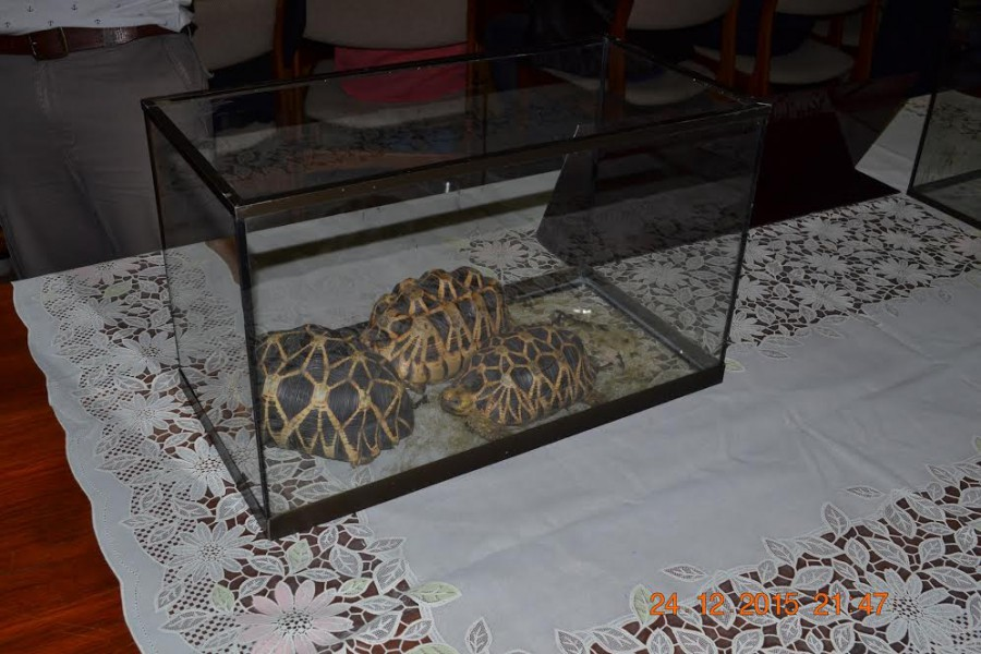 Three stolen Burmese star turtles confiscated from suspects in Thailand after the discovery of a Facebook posting listing them for sale. Photo courtesy of WCS Thailand