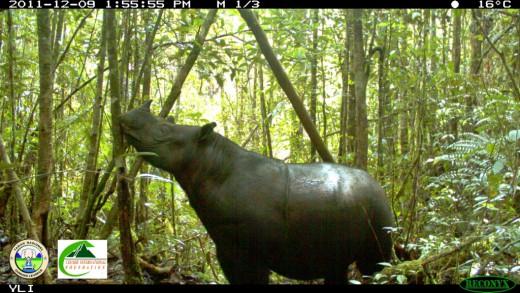 Sumatran rhino photographed on camera trap in Gunung Leuser National Park, inside the Leuser Ecosystem. Image courtesy of the Leuser International Foundation and Gunung Leuser National Park.