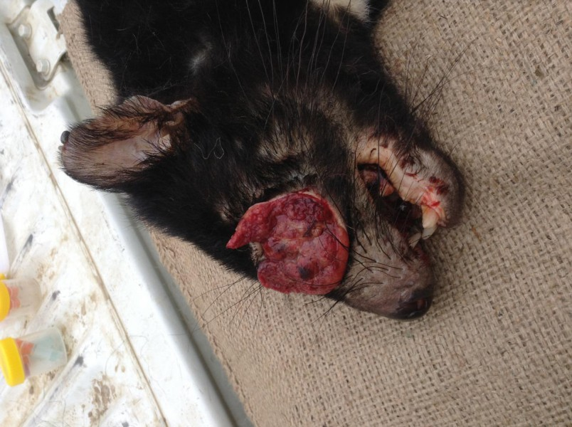 The new contagious cancer produces large facial tumors in Tasmanian Devils, much like the first form of cancer. Photo by Gregory Woods, Menzies Institute for Medical Research, University of Tasmania.